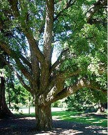 220px-Cork_tree