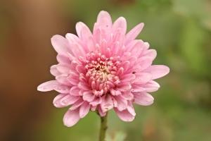 Chrysanthemum_sp