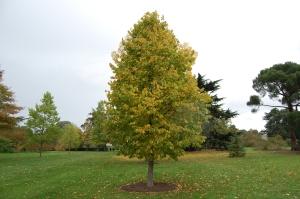 corylus-colurna-autumn