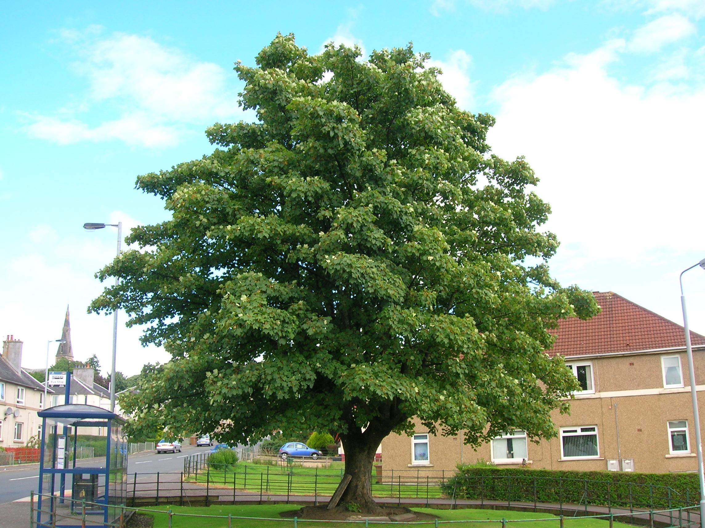 Dalry Sycamore Tree Ayrshire